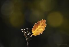 En la soledad del bosque (anpegom) Tags: hoja bosque monte castilla palencia roble dueas torozos