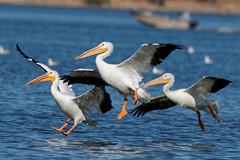 Still more join the fray. (dcstep) Tags: urban usa nature flying colorado flight pelican urbannature handheld allrightsreserved bif birdinflight americanwhitepelican cherrycreekstatepark copyright2015davidcstephens dxoopticspro1051 y6a9195dxosrgb