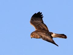 Harrier on the hunt....  Explored! :) (Paridae) Tags: raptor birdsofprey harrier afewofmyfavouritethings circuscyaneus thingswithwings northerharrier birdsofbritishcolumbia birdsofboundarybay