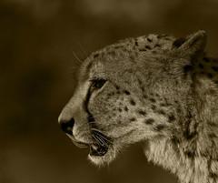 Cheetah_7385 copy (Peter Warne-Epping Forest) Tags: southafrica bigcat cheetah predator carnivore satara acinonyxjubatus krugernp
