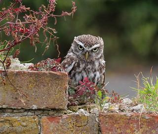 That little owl stare again