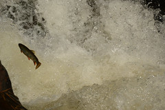 Brown Trout jumping waterfall (turn off your computer and go outside) Tags: autumn fish nature water sunshine river outdoors waterfall october bright critter trout sunnyday browntrout jumpingfish 2015 marinettecounty marinettecountyparksystem twelvefootfallscountypark