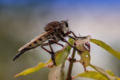 Horse Fly (Klaus Ficker) Tags: usa macro nature closeup canon insect kentucky insects horsefly eos5dmarkii kentuckyphotography klausficker