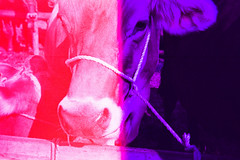 Cow, two-tone. (Markus Moning) Tags: light film animal analog 35mm schweiz switzerland kuh cow kodak cd voigtlander 400 leak expired accidental voigtländer ch appenzell supra vito moning twotone bichrome heiden viehschau markusmoning appenzellausserrhoden zweifarbig