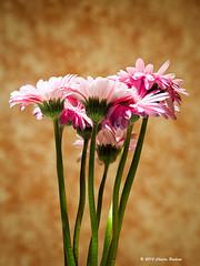 _C170036 Gerbera Daisies 2 (Charles Bonham) Tags: flowers daisies bokeh indoors tungsten gerberadaisies spongepaint focusstacking olympusomdem1 charlesbonhamphotography spongepaintedwall