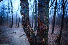 Écorché par la vie (alex.bernard) Tags: canada tree nature fog forest outdoor québec tamron arbre brouillard forêt brume montsainthilaire tamron2470