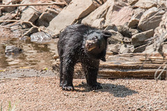 Black Bear cub. Waterton Canyon, Colorado.