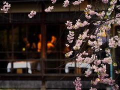 It will be a good year (imnOthere0) Tags: flower night restaurant kyoto april sakura shirakawa
