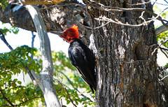 Carpintero-patagonico (Raquele) Tags: patagonia male chaltn carpintero campephilusmagellanicus magellanicwoodpecker