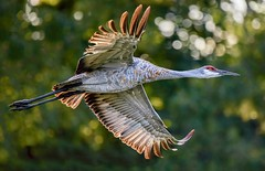 Flyby II (Wes Iversen) Tags: brighton kensingtonmetropark michigan milford sandhillcrane tamron150600mm birds birdsinflight bokeh trees wildlife coth