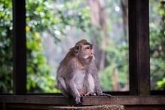 Maquaqe at Ubud monkey forest (Tim&Elisa) Tags: bali indonesia asia canon ubud monkeyforest maquaqes monkey animal