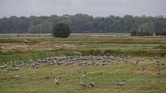 Kraniche auf einem Feld (in Explore) (Oerliuschi) Tags: kraniche vögeldesglücks mecklenburgvorpommern günz ostsee grusgrus cranes