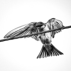 Swallow II (Lamoural) Tags: flickrunitedaward flickrunited picture canophotographie canon voyage hirondelle oiseaux blackandwhite noiretblanc bnw bird swallow