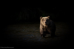Spotlight (rishaisomphotography) Tags: kodiak alaska bear sow brownbear grizzly female animal mammal wild wildlife wildlifephotography nature naturephotographer river water carnivore omnivore knwr usfws moodylight