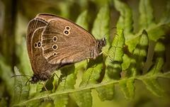 Mating Ringlets, Aphantopus hyperantus (marksedgwick55) Tags: nymphalidae common ireland summer environment insect wildlife nature aphantopushyperantus fern lepidoptera butterfly mating ringlet