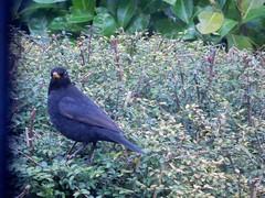 Early Bird (claireartistpoet) Tags: blackbird garden beak feathers earlybird