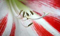 18-062-zweite%2520Serie%2520019-002 (hemingwayfoto) Tags: amaryllis blã¼te blã¼tenblatt blã¼tenstaub blã¼tenstempel blume blumen blumenhandel blumenzucht bunt flora gã¤rtner macroaufnahme natur pflanze rot topfblume topfpflanze zucht zwiebelblume zwiebelpflanze