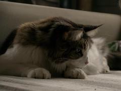 Where did the red dot go? (Birdiebirdbrain) Tags: dean mainecoon cat domesticcat feline nikon nikond3300 tamron tamron18270mm