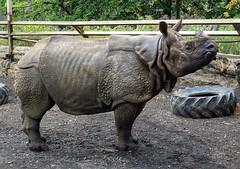 Bertus (diminji (Chris)) Tags: bertus rhino rhinocerus edinburghzoo edinburgh lovescotland scotland animals wildlife nature hdr hdrtoning