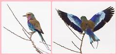 Lilac-breasted roller (Coracias caudatus) - Vorkstaartscharrelaar (JoCo Knoop) Tags: lilacbreastedroller tanzania tarangire coraciascaudatus