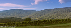 Vineyard and Mountains (mjdrhd) Tags: grapes winery vineyard sky blue clouds green rural nature