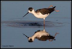 Morning Exercises 2773 (maguire33@verizon.net) Tags: blackneckedstilt sanjacintowildlifearea bird stilt wetlands wildlife nuevo california unitedstates us