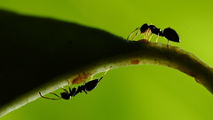 In the shadow (BugManLE) Tags: ant insect green leaf tree mutulism backlit macromondays