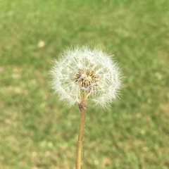 #wish #day23 #fmsphotoaday #october2016 #fms_wish #dandelion #found #my_365 #day295 #my_365_found #littlebitsof_life #nature #excellent_nature #yourdailysnap #shared_joy #nothingisordinary_ #nothingisordinary #shinephotochallenge #sunnypicchallenge #our_e (kelli.bergin) Tags: dandelion found 295365 day295 wish day23 instagramapp square squareformat iphoneography