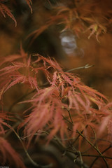 Autumn Acer (RexJAdams) Tags: helios442 helios russianlens sovietlens acer autumncolours fujixseries fujifeed fuji fujifamily fujixt1 bokeh bokehlicious