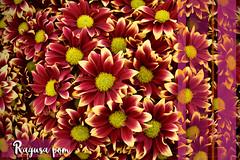 ragusa (7curvas) Tags: ragusa pormpon flower picture duotono