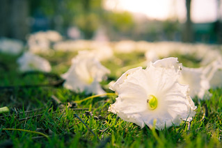 The white flower drop to thegrass in the morning