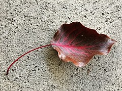 1 where Passion Red Flows (Mertonian) Tags: passion red veins beauty beautiful autumn fall curvy awe ineffable creative iphone7plus iphone ifone mertonian robertcowlishaw simplicity stilllife leaf cement concrete backyardphotolab texture brown sublime lookingdown