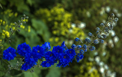 Goodbye Summer (Mala Gosia) Tags: kajtek malagosia oct252016 lakelouise banffnationalpark ab outdoor canoneos6d flower plant canada rockies alberta