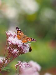 (Polotaro) Tags: mzuikodigital45mmf18 butterfly insect bug nature olympus epm2 pen zuiko            garden 10