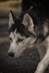 DSC_0050 (Harlum) Tags: boxer germanshepherd lab dogpark wolfhybrid husky malamute nikon nikond100 nikond5100 dogs