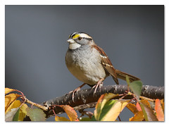 White-throated Sparrow (Redtail10025) Tags: birds migration fall nyc sparrows white throat whitethroated