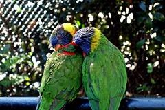 Rainbow Lorikeets Preening (--Anne--) Tags: bird birds nature wildlife animals colorful rainbow lorikeet lorikeets preening