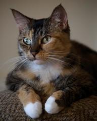 Kizmet (Photographs By Wade) Tags: skiatook oklahoma cat kitty feline kizmet pet furryfamily
