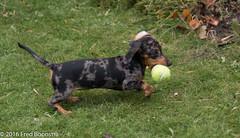 """Jetje"" Don't have one at home :)) (A.J. Boonstra) Tags: teckel dackel dachshund brindleminiaturedachshund getijgerdedwergteckel dapple puppy ef50mmf14usm canon canoneos canon70d"