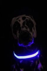 Blue Dalmatian (blumenbiene) Tags: hund dog hunde dogs hündin female dalmatiner dalmatian schwarz weis black white halsband ledhalsband led collar ledband necklace blue