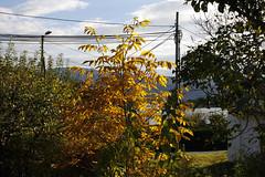 Valnttreet vrt (dese) Tags: walnuttree valnttre walnut valnttreet noix walnoot fusa vestlandet noreg october22 2016 oktober october haust autumn hordaland norway bjrnefjorden fjord walnuss valnt garden yellow