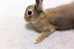 Ichigo san 464 (mensore) Tags:  rabbit bunny netherland dwarf brown cute pet family ichigo