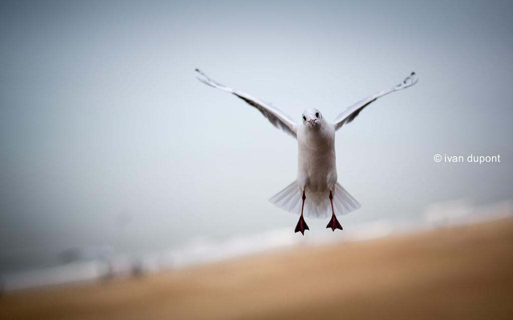 The Aerial Ballet Seagulls Belgium Monsieur I Tags Animal Belgian