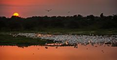 Pantanal sunrise (Jamie B Ernstein) Tags: pantanal dawn sunrise water river rio bird birds lake waterbirds wadingbirds sun orange sky brazil matogrosso panorama landscape nikon spectacular reflection reflexions herons egrets ibis sunsetsandsunrisesgold