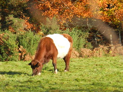 Munching Quietly, near Redcastle, Black Isle, Nov 2016 (allanmaciver) Tags: belted galloway black isle cow eating munching autumn colours field scotland unique allanmaciver