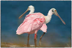 Beautiful in pink (1) (RKop) Tags: a77mk2 600mmf4apogminolta raphaelkopanphotography caladesiislandstatepark florida roseatespoonbill sony
