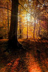 Forrest Glory . (rudi.verschoren) Tags: sun contrast patches light morning yellow sky red reflectie reflection exposure mood mustardyellow blue woods trees tall tree tripod purple path eos europa europe autumn landscape landschap leaves brown wallonia
