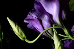 Purple Flower (ReeceDonaldson) Tags: purple flower black background foreground manual focus macro dark