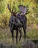 Bull Moose, Jackson Hole Wyoming (Hawg Wild Photography) Tags: bull moose jacksonholewyoming grand teton tetons national park wildlife animal animals nature terrygreen nikon nikon200400vr d810 hawg wild photography