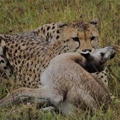 Cheetah has just made a kill in #masaimara, #Kenya #cheetah #wildlife #Kenyasafari #MasaiMaraTour http://ow.ly/WXLD306usBo (africansermonsafaris) Tags: instagramapp square squareformat iphoneography uploaded:by=instagram africansermonsafaris kenyasafari african tour safaris maasai naivasha